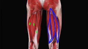 romanian deadlift hamstring muscles